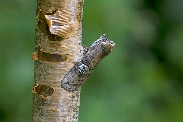 Figure of eighty moth (Tethea ocularis octogesimea) on tree trunk, Norfolk, England, June  -  Robin Chittenden/ npl