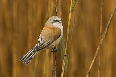 Penduline tit (Remiz pendulinus) on reed, Dingle Marshes, Suffolk, England, November  -  Robin Chittenden/ npl