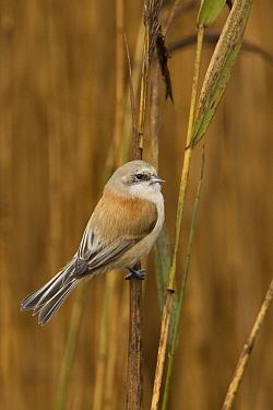Penduline tit (Remiz pendulinus) on reeds, Dingle Marshes, Suffolk, England, November  -  Robin Chittenden/ npl