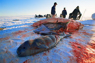Inuit hunters with body of unborn Beluga (Delphinapterus leucas) calf and mother that they have hunted, Lancaster Sound, Nunavut, Canadian high Arctic  -  Doug Allan/ npl