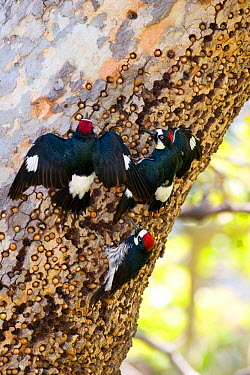 Acorn Woodpeckers (Melanerpes formicivorus) three at granary tree with many stored acorns The two upper birds are giving spread-winged (greeting) display, Orange County, California, USA  -  Marie Read/ npl