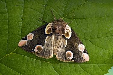 Peach blossom moth (Thyatira batis) resting during daylight, Hertfodshire, England, UK  -  Andy Sands/ npl