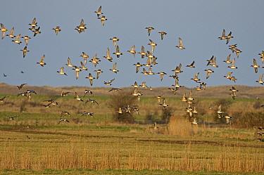 Wigeon (Anas penelope) flock in flight over grazing marshes, Burnham Norton, Holkham National Nature Reserve in Norfolk, March  -  Chris Gomersall/ npl