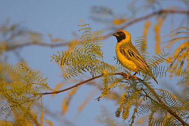 Male Southern masked-weaver (Ploceus velatus) on branch, Namibia, Africa, November  -  Chris Gomersall/ npl