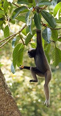 Alpha female Bornean Muller's, Grey gibbon (Hylobates muelleri) feeding on fruit in a strangler fig tree, while hanging from one arm, Danum Valley, Sabah, Borneo, Endangered species  -  Justine Evans/ npl