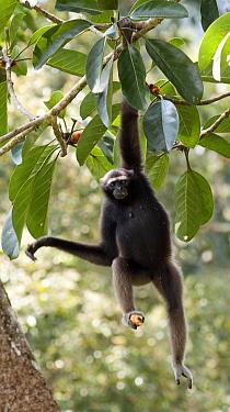 Alpha female Bornean Muller's, Grey gibbon (Hylobates muelleri) holding fruit in foot hanging from a fruiting fig tree, Danum Valley, Sabah, Borneo, Endangered species  -  Justine Evans/ npl