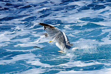 Yellow legged gull (Larus cachinnans) chasing Sardine, European pilchard (Sardina pilchardus) leaping out of sea in attempt to escape Between Isle of Lesbos, Lesvos, Greece and Turkey August  -  Nick Upton/ npl