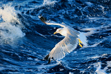 Yellow legged gull (Larus cachinnans) flying low over sea while fishing for Sardines, European pilchards (Sardina pilchardus) between Isle of Lesbos, Greece and Turkey August  -  Nick Upton/ npl