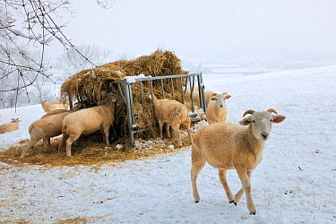 Wiltshire horn domestic sheep (Ovis aries) on snow covered pastureland, foraging at hay feeder Wiltshire, UK, January 2010  -  Nick Upton/ npl