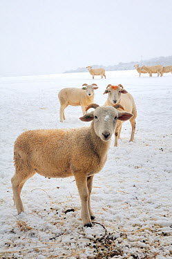 Wiltshire horn domestic sheep (Ovis aries) on snow covered pastureland Wiltshire, UK, January 2010  -  Nick Upton/ npl