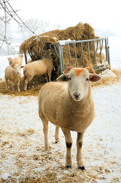 Wiltshire horn domestic sheep (Ovis aries) in falling snow on snowy pastureland, foraging at hay feeder Wiltshire, UK, January 2010  -  Nick Upton/ npl