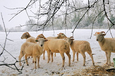 Wiltshire horn domestic sheep (Ovis aries) sheltering under trees at edge of snow covered pastureland Wiltshire, UK, January 2010  -  Nick Upton/ npl