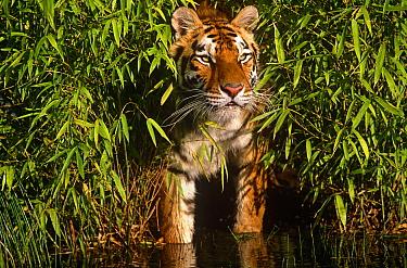 Bengal tiger (Panthera tigris tigris) standing amongst bamboo at water's edge, captive  -  Lynn M. Stone/ npl