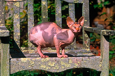 Domestic cat, Sphinx cat with no hair sitting on garden bench, Connecticut, USA  -  Lynn M. Stone/ npl