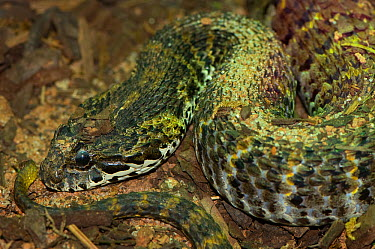 Rough-scaled Death Adder (Acanthophis rugosus) Captive, from SE Asia  -  Edwin Giesbers/ npl
