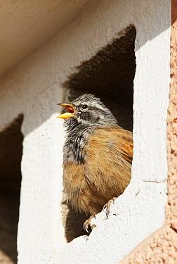 House Bunting (Emberiza striolata) perched on window ledge, singing, Morocco, February  -  Markus Varesvuo/ npl