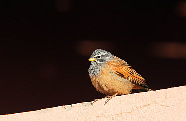 House Bunting (Emberiza striolata) male perched, Morocco, February  -  Markus Varesvuo/ npl