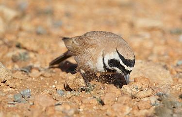 Temminck's Lark (Eremophila bilopha) foraging, Morocco  -  Markus Varesvuo/ npl
