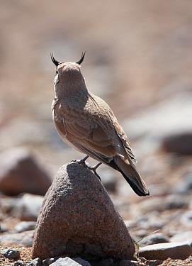 Temminck's Lark (Eremophila bilopha) resting on ston,e with head turned away from camera, Morocco  -  Markus Varesvuo/ npl