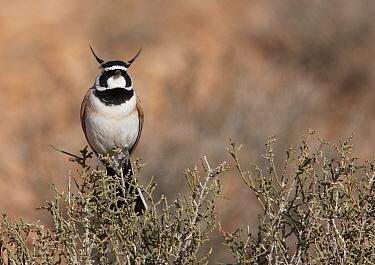 Temminck's Lark (Eremophila bilopha) in desert, Morocco  -  Markus Varesvuo/ npl