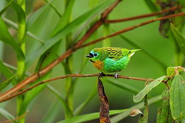 Brassy-breasted tanager (Tangara desmaresti) perched on twig, Atlantic Rainforest of Serrinha do Alambari Environmental Protection Area, Resende, Rio de Janeiro State, Brazil  -  Luiz Claudio Marigo/ npl