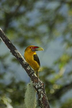 Saffron Toucanet (Pteroglossus, Baillonius bailloni), in the Atlantic Rainforest of Itatiaia National Park, Rio de Janeiro State, Brazil  -  Luiz Claudio Marigo/ npl