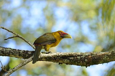Saffron Toucanet (Pteroglossus, Baillonius bailloni), in the Atlantic Rainforest of Itatiaia National Park, municipality of Itatiaia, Rio de Janeiro State, Brazil  -  Luiz Claudio Marigo/ npl