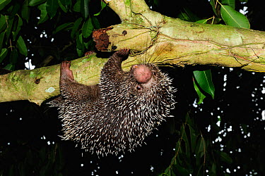 Prehensile tailed porcupine (Coendou prehensilis) hanging from tree, forest of Sierra of Baturita, municipality of Mulungu, Cearai State, Northeastern Brazil  -  Luiz Claudio Marigo/ npl