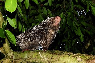 Prehensile tailed porcupine (Coendou prehensilis) sniffing air, forest of Sierra of Baturita, municipality of Mulungu, Cearai State, Northeastern Brazil  -  Luiz Claudio Marigo/ npl