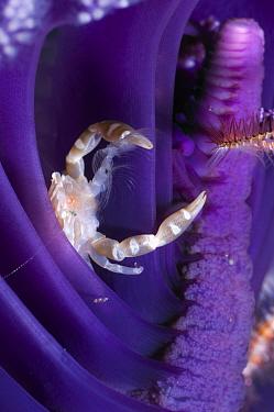 Pen crab (Porcellanella triloba) resting in Sea pen (Pteroeides) to feed on plankton, Rinca, Indonesia  -  Georgette Douwma/ npl