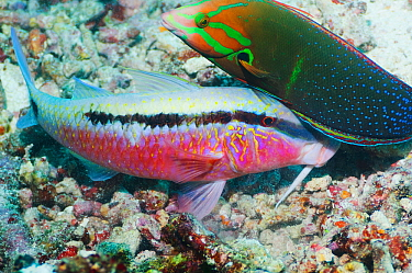 Dash-and-dot goatfish (Parupeneus barberinus) digging in coral rubble for prey, accompanied by a Yellowtail coris (Coris gaimard) hoping to catch any escaping prey Misool, Raja Ampat, West Papua, Indo...  -  Georgette Douwma/ npl