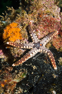 Starfish (Fromia nodosa) Solomon Islands, Western Pacific  -  Georgette Douwma/ npl