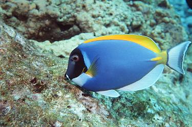 Powderblue surgeonfish (Acanthurus leucosternon) Indo-pacific  -  Georgette Douwma/ npl