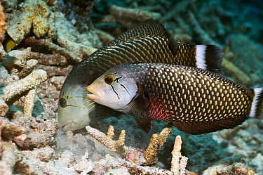 Rockmover or Dragon wrasse (Novaculichthys taeniourus) working as a pair, moving coral rubble to find benthic invertebrates to feed on Misool, Raja Ampat, West Papua, Indonesia  -  Georgette Douwma/ npl