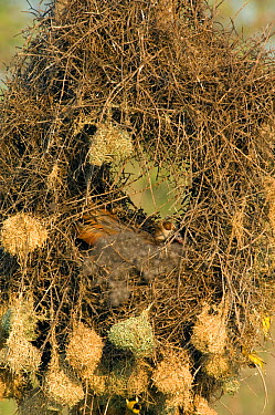 African masked weaver birds (Ploceus velatus) build nests on the nest of an Egyptian goose (Alopochen aegyptiacus) Kruger NP, South Africa  -  Patricio Robles Gil/ npl