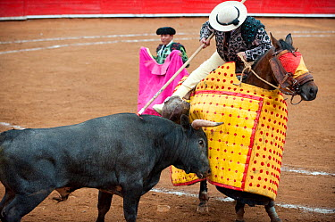 Picador taunts bull with spear to test its aggression, Plaza de Toros, Mexico City, Mexico  -  Patricio Robles Gil/ npl