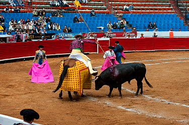 Picador spearing bull with Matadors watching in final stages of bullfight, Plaza de Toros, Mexico City, Mexico  -  Patricio Robles Gil/ npl
