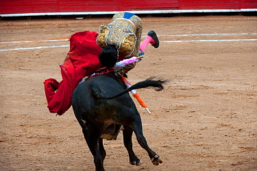 Matador in final stages of bullfight leaps over bull to pierce bull between horns with blade, Plaza de Toros, Mexico City, Mexico  -  Patricio Robles Gil/ npl