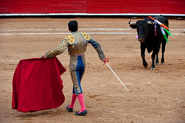 Matador holding sword uses red cloak to challenge bull in later stages of bullfight, Plaza de Toros, Mexico City, Mexico  -  Patricio Robles Gil/ npl