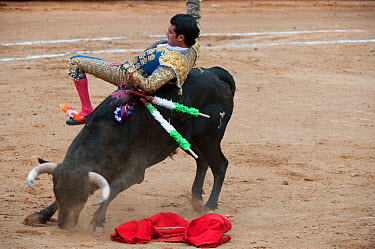 Matador tossed by bull as he tries to kill the bull with a blade between the horns in final stages of bullfight, Plaza de Toros, Mexico City, Mexico  -  Patricio Robles Gil/ npl