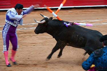 Banderilla taunting bull with spikes in bullfight, Plaza de Toros, Mexico City, Mexico  -  Patricio Robles Gil/ npl
