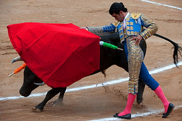 Matador uses red cloak to challenge bull in later stages of bullfight, Plaza de Toros, Mexico City, Mexico  -  Patricio Robles Gil/ npl