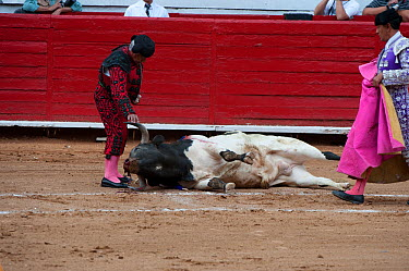 Bull collapsed on the ground in bullfight with matador watching, Plaza de Toros, Mexico City, Mexico  -  Patricio Robles Gil/ npl