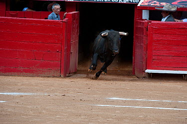 Bull charging into bullring at start of bullfight, Plaza de Toros, Mexico City, Mexico  -  Patricio Robles Gil/ npl