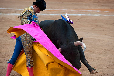 Matador uses pink side of cloak to challenge bull in bullfight, Plaza de Toros, Mexico City, Mexico  -  Patricio Robles Gil/ npl