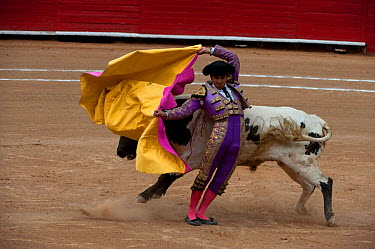 Matodor uses pink side of cloak to challenge bull in early stages of bullfight, Plaza de Toros, Mexico City, Mexico  -  Patricio Robles Gil/ npl