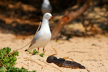 Blind Tiger Snake (Notechis scutatus) and Silver Gull (Chroicocephalus novaehollandiae) on Carnac Island, Perth, Western Australia A proportion of the tiger snakes on the island (including this one) a...  -  James Brickell/ npl