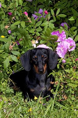 Domestic dog, short-haired miniature Dachshund by flowering rose bush, Illinois, USA (MF)  -  Lynn M. Stone/ npl