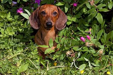 Domestic dog, short-haired miniature dachshund by rose bush, Illinois, USA (MF)  -  Lynn M. Stone/ npl