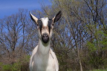 Domestic goat (Capra hircus) Alpine dairy breed female goat in field, East Troy, Wisconsin, USA  -  Lynn M. Stone/ npl